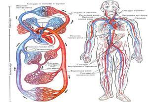 Кровоток человеческого организма
