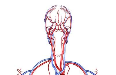 Кровеносная система головы