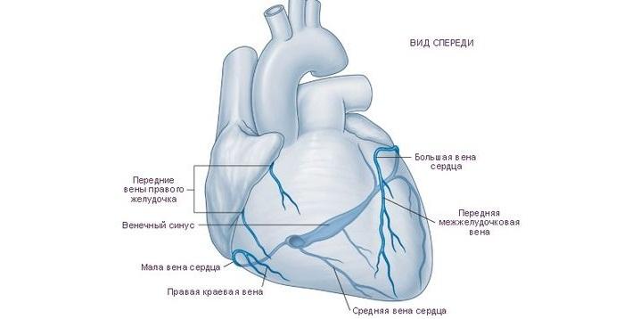 Вены сердца