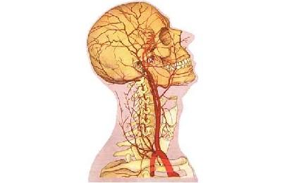 Сонная артерия