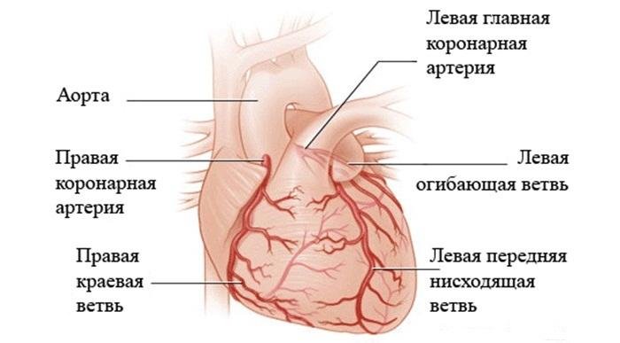 Артерии сердца