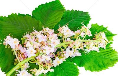 Цветы каштана