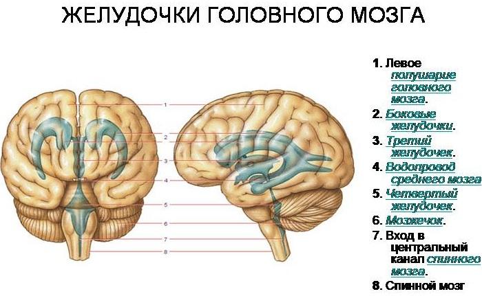 Сплетения желудочков мозга